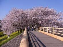 鴻巣の整体院ささき 整体よもやま話-桜並木